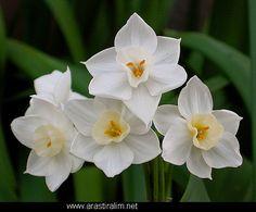 Narcissus - December Birth Flower (Britain)