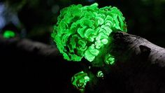 Glow-in-the-dark funghi rediscovered after 170 years. awesome.