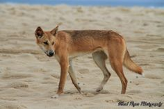 Dingo spotting on the eastern beach as shared by Mark P  #eurongbeach #fraserisland #queensland #australia www.eurong.com.au