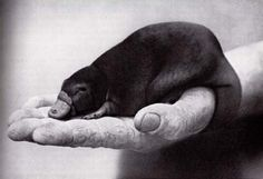 Baby platypus :)