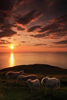 sun setting on the sheep