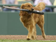 When you take your Golden to the ball game..   # Pin++ for Pinterest #