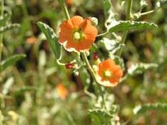 one of my new favorites!The warm apricot flower of the native California Spheralcia