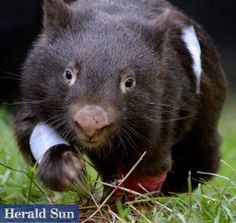 It's been a rough start for young wombat Scarlett. At only 15months, she has been through the wars!  After a check-up at Healesville Sanctuary's Wildlife Hospital, the vets have provided on-going care to support her. She is on the mend again. | www.zoo.org.au