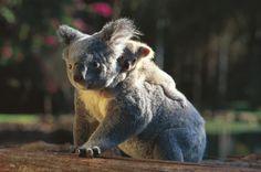 babi anim, koalas, australia, natur, koala bears, baby animals, babi koala, baby bears, catchina ride