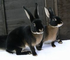 Black Otter Rex - beautiful rabbits