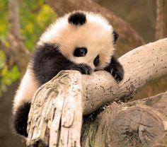 Shy panda.