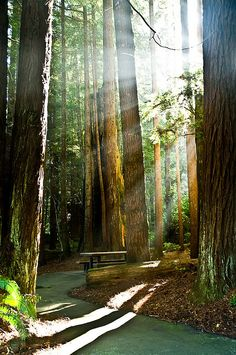 redwood forests...Shimmering light cascading thru the woods...beautiful, no?