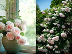 "~ ""Eden Roses""...Climbing Roses) Beautiful!! =)"
