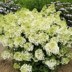 Bobo hydrangea produces beautiful white blooms that turn pink in the fall. More trees and shrubs: http://www.bhg.com/gardening/trees-shrubs-vines/trees/new-tree-shrub-varieties/?socsrc=bhgpin072413bobo=2