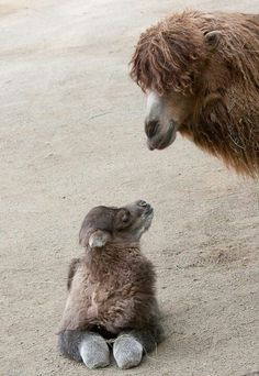 Bactrian camel and its mom...