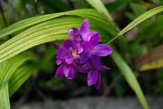 Orchid on Dominica