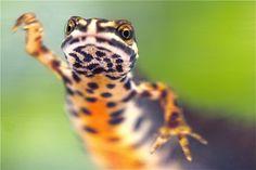 Kleine watersalamander. Door communitylid olafkoop - NG FotoCommunity ©