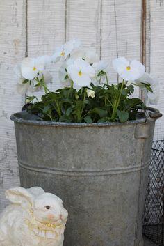 white pansies ..