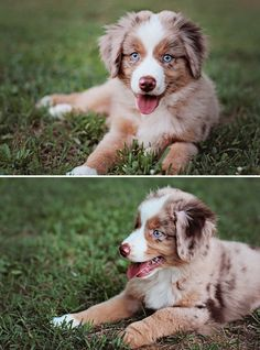 Red Merle Australian Shepherd. I think Colt and Remy need a sister! :)