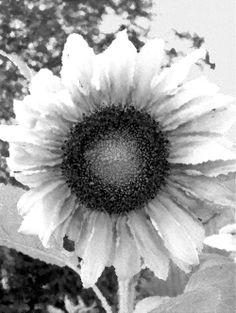 Sunflower Black & White Oil Canvass Photography Mixed Media