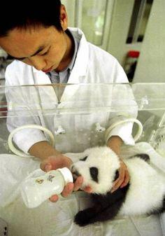 little baby panda