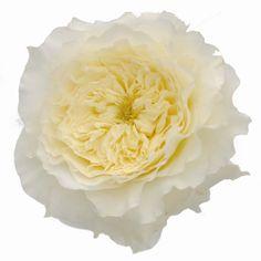 {Bridal Bouquet} Patience Ivory Cream Garden rose