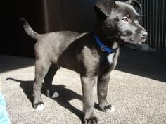 boxer lab pup
