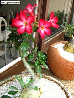 rosa del, desert bonsai, del desierto, adenium obesum, obesum rosa, rose desert