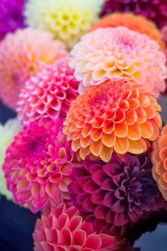 Colorful zinnias.