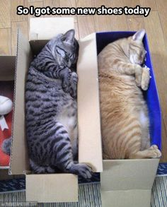 funny animals, cat beds, nap time, funny pictures, funny cats, box, fat cats, baby cats, new shoes