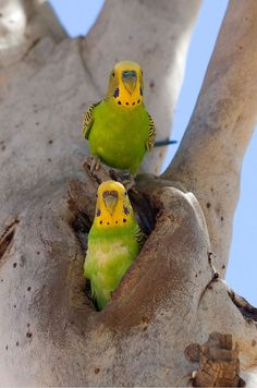 Pair of wild budgies at their nest in a hollow in a Eucalyptus tree.