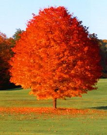 My FAVORITE TREE: October Glory Red Maple Tree.  It turns the most beautiful colors in the Fall.