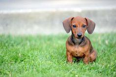 weenie dogs, dachshund, baby baby, babi, baby dogs, weiner dogs, wiener dogs, baby puppies, hot dogs