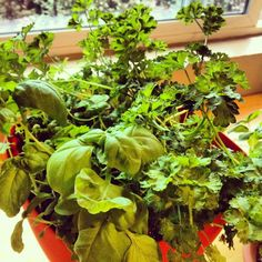 Indoor gardening // Container gardening // basil and parsley