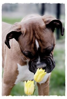 spring flowers, anim, dog lovers, pet, boxer puppies, tulip, boxer dog, boxers, sweet girls
