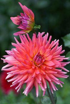 ~~Coral Gypsy Dahlia by ilovepics11~~