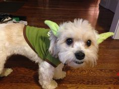 Yoda Polly.... getting ready for Halloween.