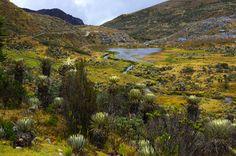 Frailejones - an endemic species in Colombia