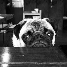 Pug chin rest