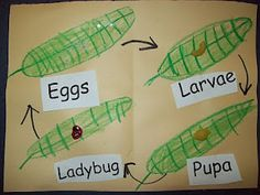 Life Cycle Patterns - Ladybug (insect)