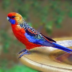 ✰ Adelaide Rosella ✰ (RO: Papagal Rosella) endemic to South Australia. Is presently believed to have originated through interbreeding of the Crimson and Yellow Rosellas.