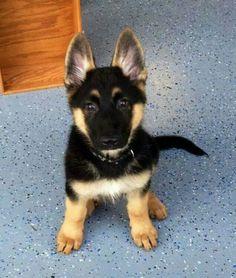 Schäferhund *Baby* :D