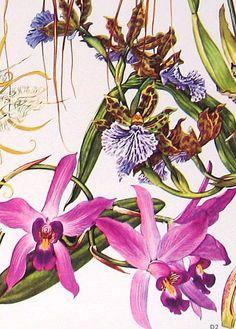 orchids, botanical illustration.