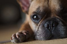 """""""Will you play?""""  French Bulldog"""