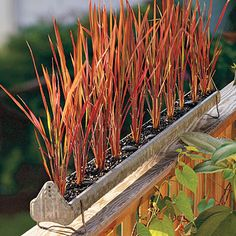 Red Rice - Spectacular Container Gardening Ideas - Southern Living
