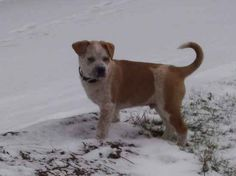 Name:    	Ottis  Breed: 	Pit Heeler  Gender:	Male  Born:  	9/30/2010  From:  	Venetia, PA (US)  Posted:	2/28/2011  Rating:	-- otti breed, heeler mix, heeler gender, 2282011 rate, pit heeler, male born