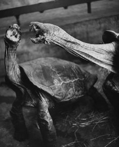 """Caption that accompanied this picture in the April 1, 1940, issue of LIFE: """"Fighting turtles open their bills wide, lunge and dodge for minutes at a time. They do not snap their jaws until they clamp them tight in the final grip on other's head.""""  by Nina Leen"""
