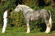 """Home - Syndicat Hippique Boulonnais - France's Boulonnais Horse  The Boulonnais, also known as the """"White Marble Horse"""",[1] is a heavy draft horse breed. The breed's origins trace to a period before the Crusades and, during the 17th century, Spanish Barb, Arabian and Andalusian blood was added to create the modern type. Unlike other draft breeds such as the Shire or Clydesdale, it has no heavy feathering on its lower legs."""