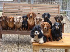 Doxie-rama. One is not like the other.....