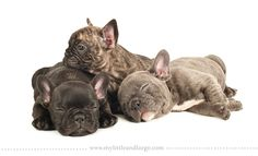 Baby Frenchies