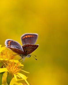 chase butterfli, dragonfli, butterflies, autumn, butterfli moth, beauty, blog, flower, butterfli yellow