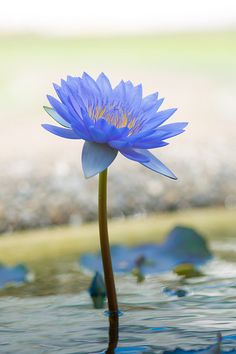 Shining blue water lily