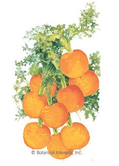 Carrot Tonda di Parigi HEIRLOOM Seeds - Botanical Interests (65 day) 10-25 days to emerge (lovely sweet)