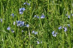 Tissington Thorpe Pastures is adorned with pretty flowers at this time of year.  Thank you to Charles Robinson for these Germander Speedwell.  18 May 2014